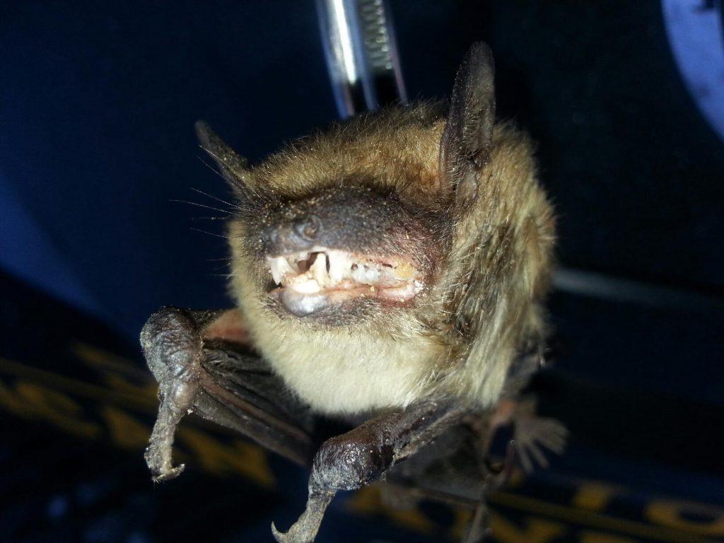 Zanesville Bat Removal